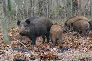 Polowanie na dziki przez cały rok? Nowy pomysł ministerstwa