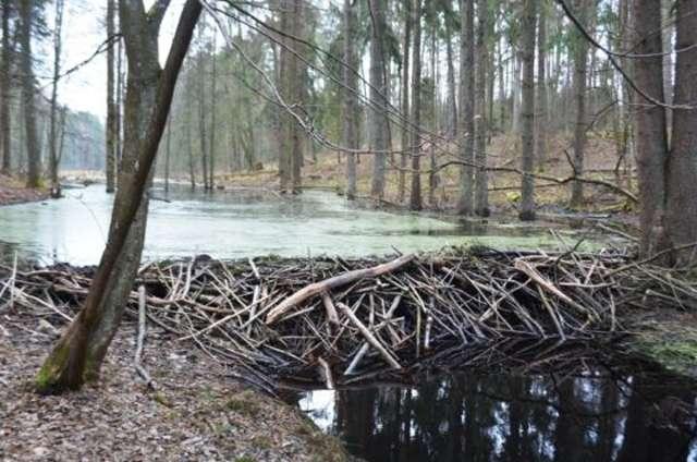Bobry atakują warmińsko-mazurskie lasy [ZDJĘCIA] - full image