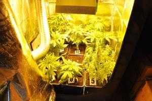 Uprawa marihuany w Tereszewie