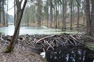 Bobry atakują warmińsko-mazurskie lasy [ZDJĘCIA]