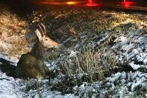Niebezpieczne zdarzenia na drogach powiatu z udziałem dzikich zwierząt