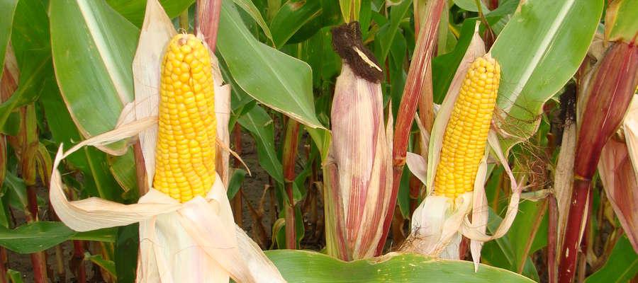 W przypadku upraw na kiszonkę odmiany kukurydzy poza wczesnością dostosowaną do rejonu powinny charakteryzować się większą masą wegetatywną i lepszą strawnością