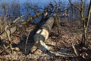 Kilkanaście drzew ściętych nad jeziorem Drwęckim. Tutaj rządzą bobry