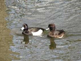 Ptasi goście na wodach Czosu (2)
