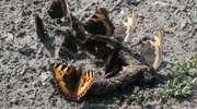 Motyl na odchodach czyli entomologiczne mity i rzeczywistość