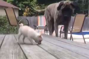 Jeden z największych psów świata kontra ten najmniejszy