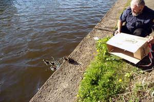Na pomoc kaczkom, gołębiom i bobrom, czyli... nietypowe akcje elbląskich strażników