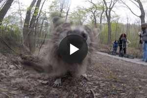 Szop ukradł kamerę GoPro i chciał ją... zjeść