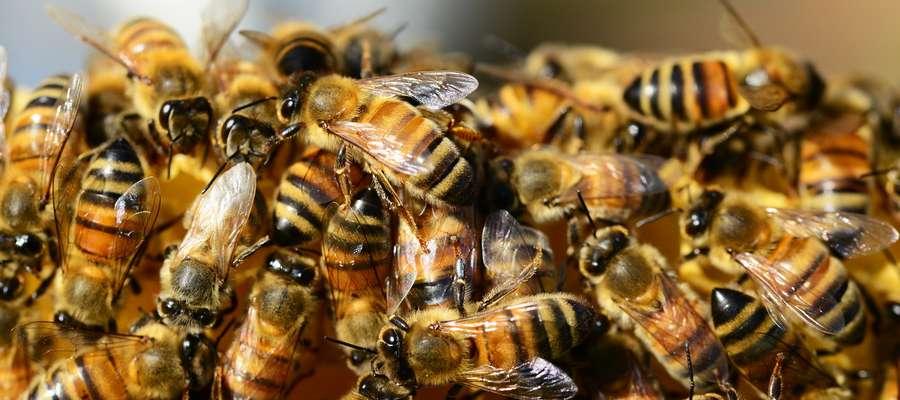 """Konferencja pt. """"Zatrucia pszczół"""" - 30 marca 2017 r. o godz. 10.00 w WMODR  przy ul. Jagiellońskiej 91 w Olsztynie"""