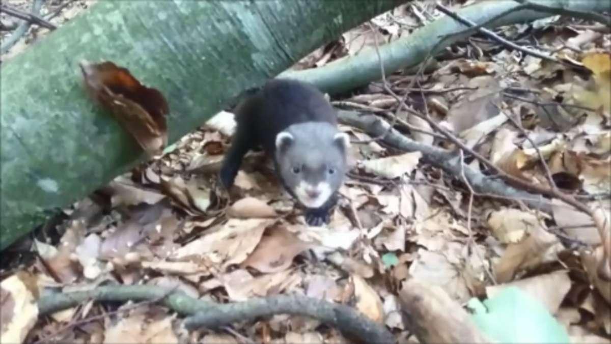 Te zwierzaki wcale nie są tchórzliwe. Spotkane w lesie mogą dać popalić [FILM] - full image