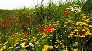 Ziemia Chełmińska. Krajobraz wymalowany polnymi kwiatami