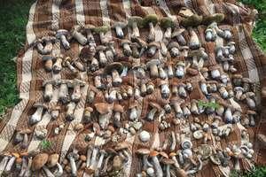 Lasy pełne grzybów. Obfite zbiory w lesie pod Mrągowem