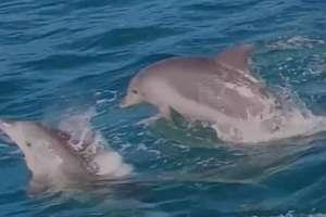 Stado delfinów u wybrzeży Australii