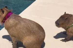 Słodkie kapibary chłodzą się w basenie