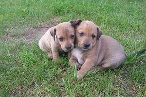 Szczeniaczki do adopcji