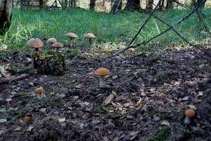 Są grzyby w okolicach Górowa Iławeckiego