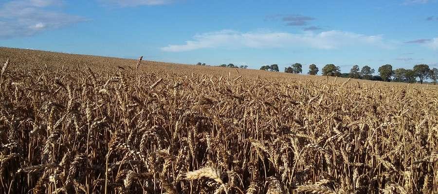 Do 5 sierpnia zebrano na Warmii i Mazurach zboża z powierzchni 55757 tys. ha, a całkowita powierzchnia przeznaczona do zbioru to 458320 tys. ha
