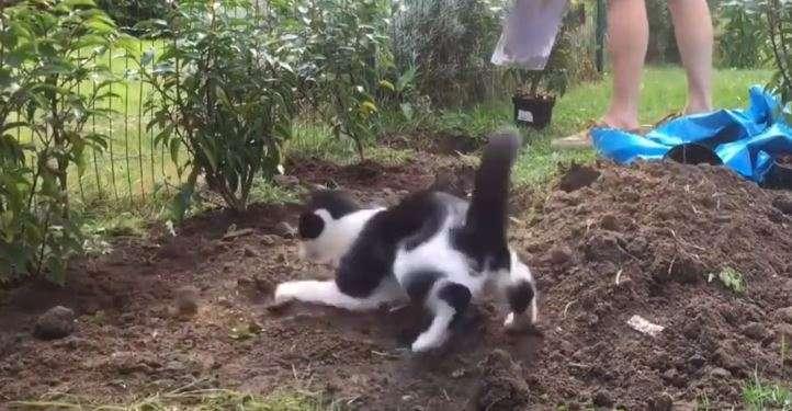 Ten kot uwielbia prace w ogrodzie  - full image