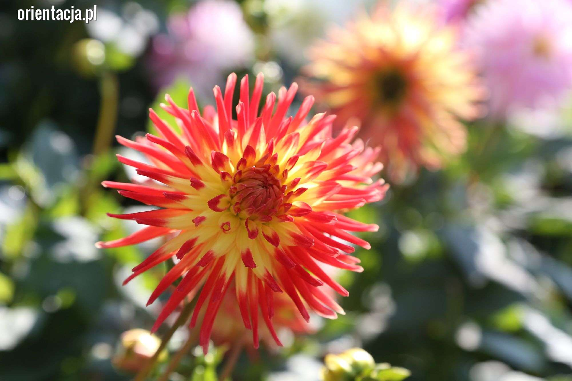 Piękne kwiaty na IV Olsztyńskiej Wystawie Dalii [ZDJĘCIA i FILM]