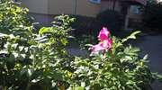 Jaka róża taki kwiat, czyli rzecz o imigrantach