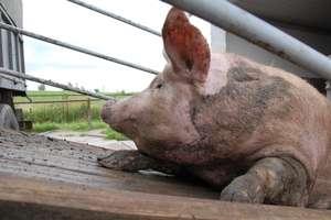 Pomór świń z Podlasia zagraża sąsiednim województwom