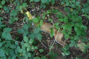 Poszedł na grzyby i znalazł konającego lisa