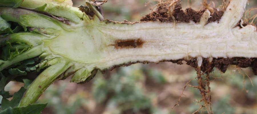 Podstawową czynnością wykonywaną jesienią przez rolników i agronomów szukających niedoborów boru w rzepaku jest przekrojenie korzenia i obserwacja, czy mamy puste przestrzenie w przekroju korzenia głównego