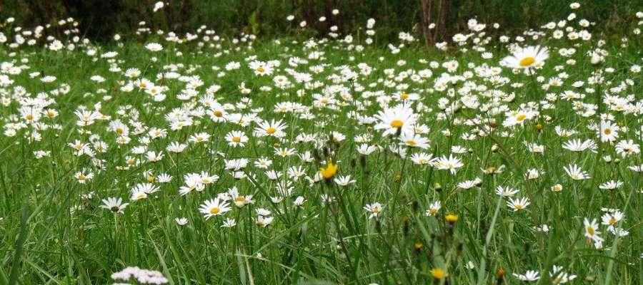 Sorkwicka łąka pod koniec września kwitnie jak w maju