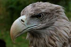Bieliki giną od trutek. Ornitolodzy nie pamiętają tak dramatycznego roku