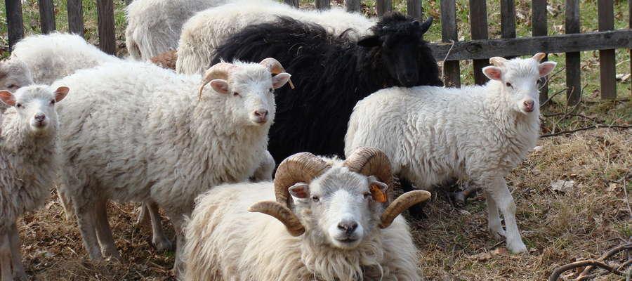 W bieżącym roku pogłowie owiec w naszym kraju zwiększyło się. Jak  podaje Główny Urząd Statystyczny ogółem w czerwcu 2016 r.  pogłowie owiec  wynosiło 236,5 tys. sztuk i było o 8,9 tys. sztuk wyższe niż w czerwcu 2015 r.