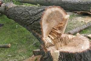 Chcesz wyciąć drzewo? Sprawdź, ile zapłacisz