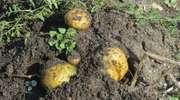 Ziemniak nasz powszedni