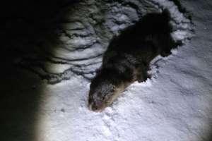 Zabrali ją z lodu i okryli ubraniem. Strażnicy uratowali wyczerpaną wydrę