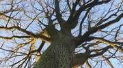 Mazurskie drzewa pozują do aktów