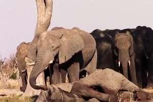 Słonie opłakują śmierć jednego z członków swojego stada