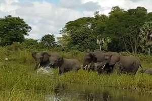 Krokodyl zaatakował słonia przy wodopoju w Malawi