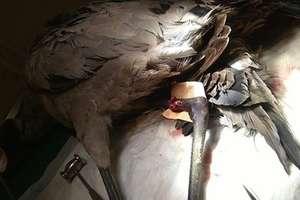 Ranny żuraw nie wytrzymał operacji