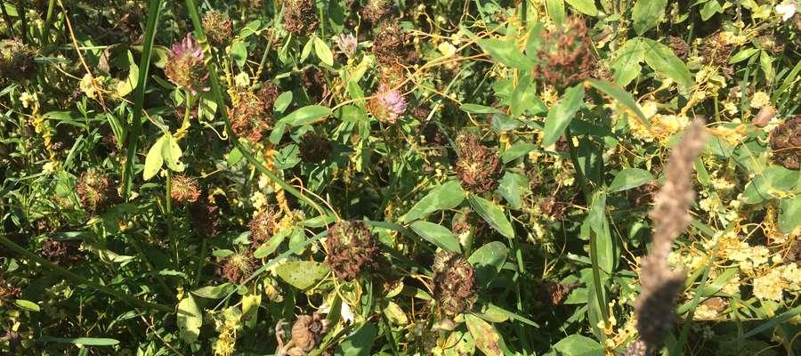 Kanianka potrafi przetrwać w sąsiedztwie wszystkich roślin bobowatych, ziemniaków, a nawet traw i zbóż, często przenosząc choroby między roślinami