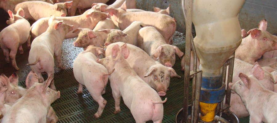 Płatność do zakupu trzody hodowlanej może uzyskać hodowca, który w dniu założenia wniosku posiada łącznie nie mniej niż 10 i nie więcej niż 2000 świń