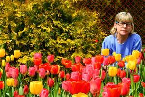 Czas mieniących się kolorami tulipanów