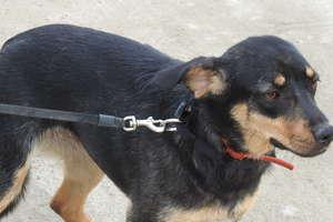 Naukowcy z Olsztyna wynaleźli innowacyjny implant, którzy pomoże psom