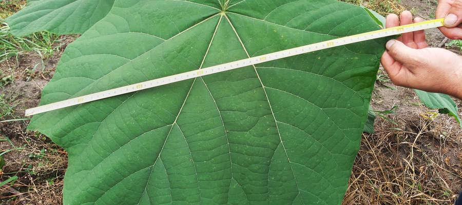 Liście Oxytree, okres sadzenia trwa od drugiej połowy maja do końca czerwca