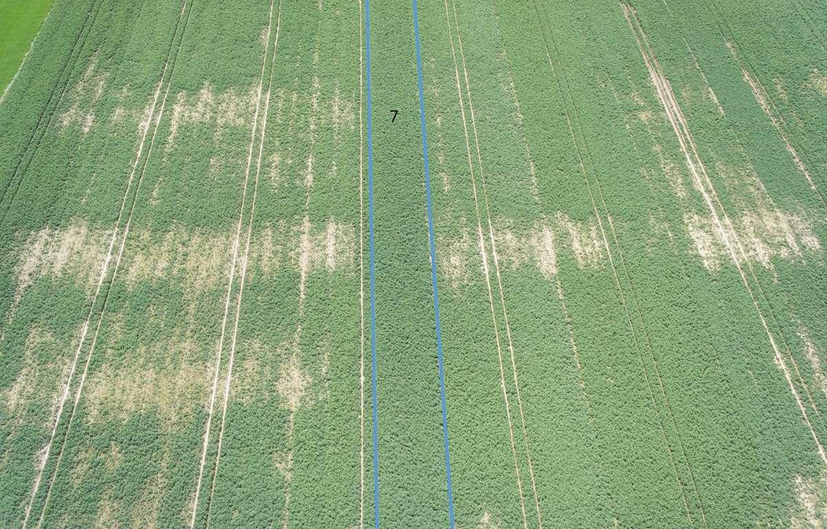 W środku odmiana z podwyższoną tolerancją na kiłę (zielony pas pola). Pozostałe odmiany nie posiadają tolerancji na kiłę kapusty