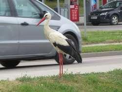 Bocian na autostopie?
