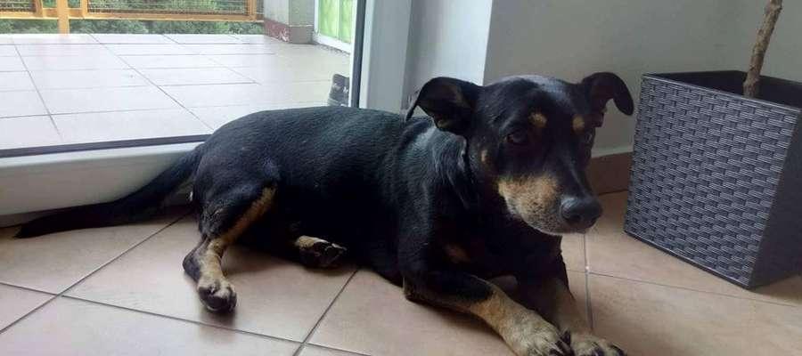Pies, który został wyrzucony z samochodu na trasie Butryny-Jedwabno