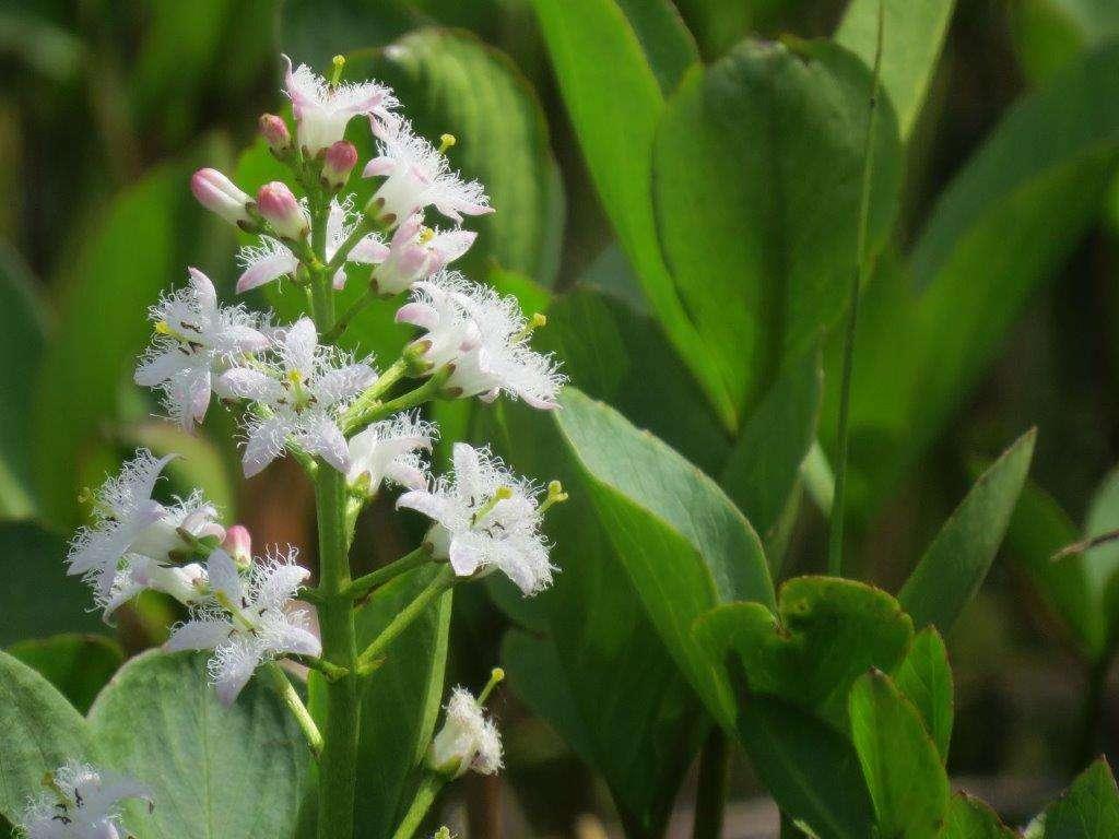 Bobrek trójlistny - atrakcyjna roślina błotna - full image