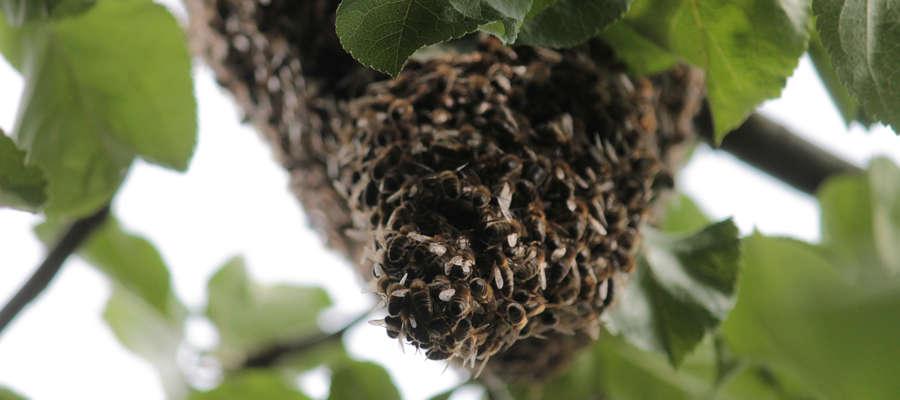 Rój pszczół osiadł na jabłoni w Bisztynku.