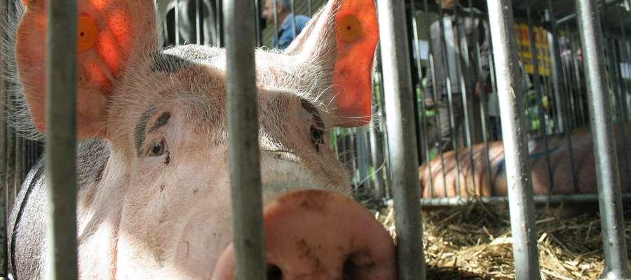 Jeżeli chcemy mieć wysokie wyniki produkcyjne, zdrowe świnie i małe zużycie paszy musimy skarmiać tylko zdrowymi i najwyższej jakości zbożami