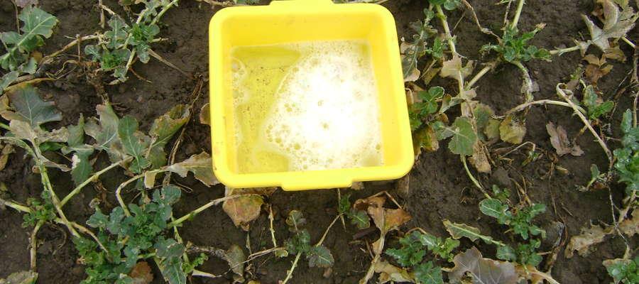"""Metoda ,,żółtych naczyń"""" to sprawdzony sposób monitorowania pierwszych nalotów na rośliny rzepaku i aktywności szkodliwych owadów, w szczególności chrząszczy"""