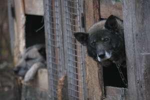 Koniec z łańcuchami? Jarosław Kaczyński o projekcie ustawy broniącej praw zwierząt [SONDA, VIDEO, AKTUALIZACJA]
